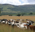 Nguni cattle on the move